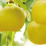 石黒農園の梨